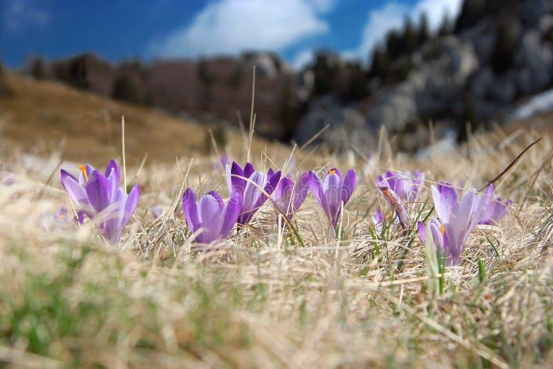 Download Crocus At Spring Stock Images - Image: 13333164