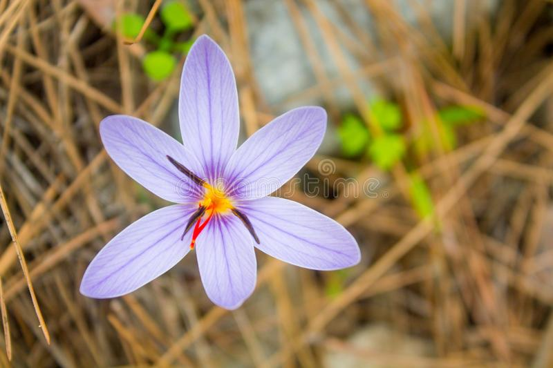 Crocus spring flower in the forest meadow. Violet and purple saffron, crocus flower among the dry grass, beautiful flowers in blossom in spring in the forest stock images