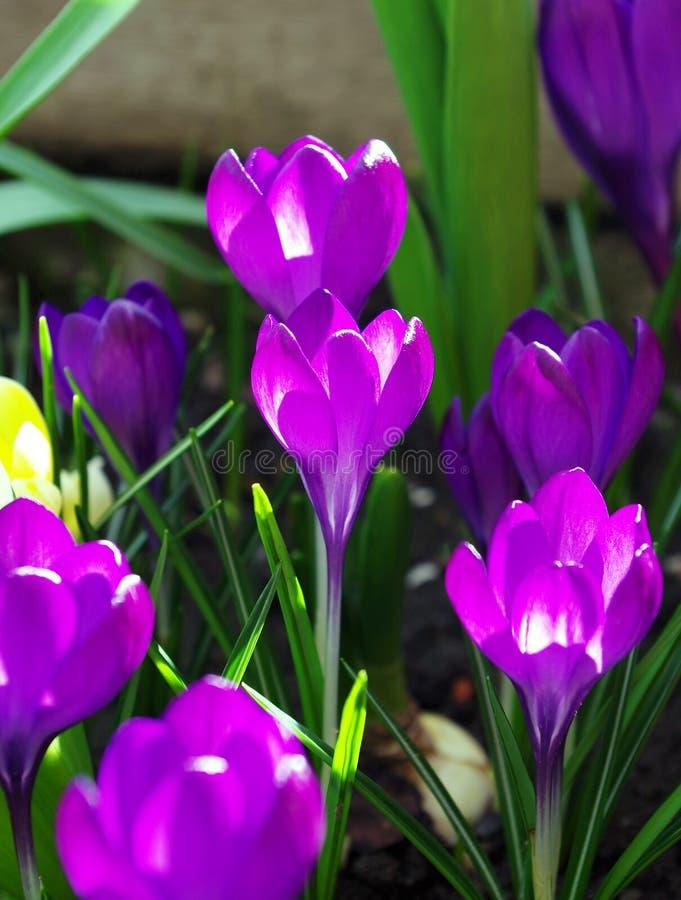 Crocus spring flower stock photography