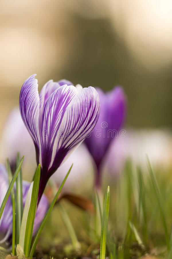Crocus spring flower. In springtime with copyspace stock photo