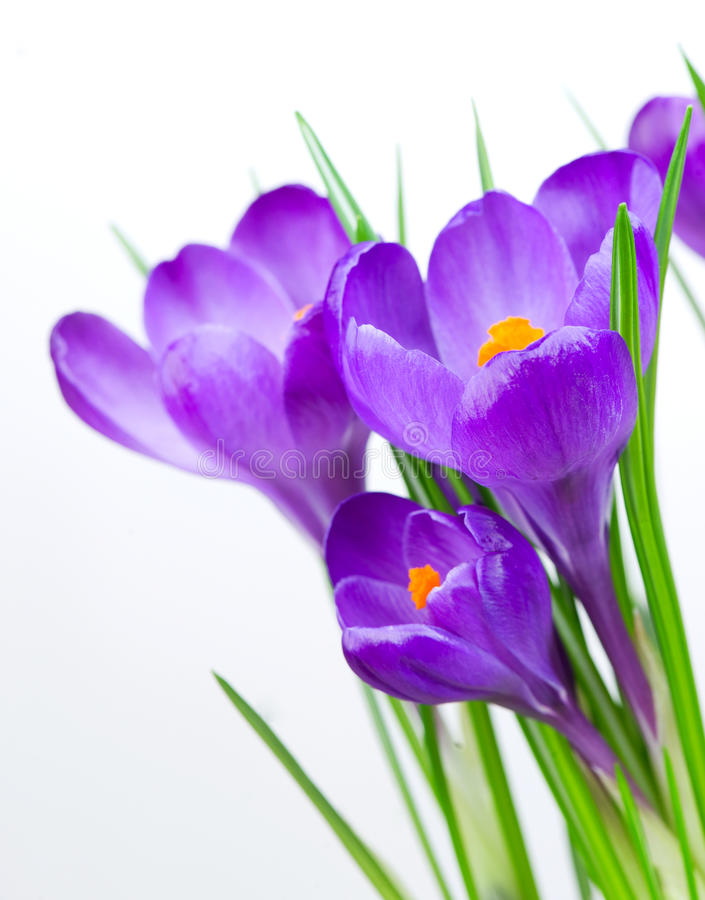 Crocus Spring Flowers. Border Design