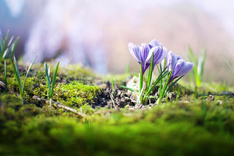 Crocus Spring Flowers royalty free stock photo