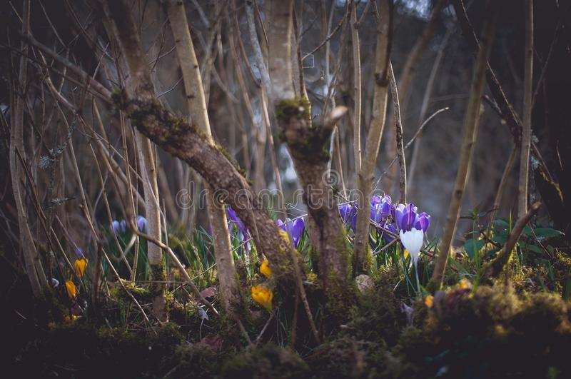 Crocus Spring Flowers royalty free stock images