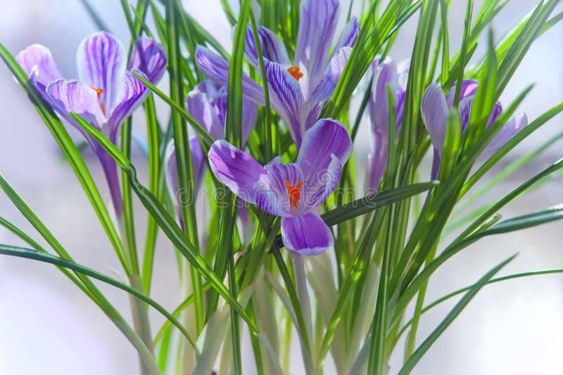 Crocus spring flowers stock photography