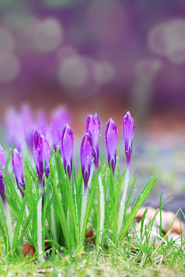 Crocus under the rain. Spring purple and violet colors crocus under the early sunlight and rain stock photos