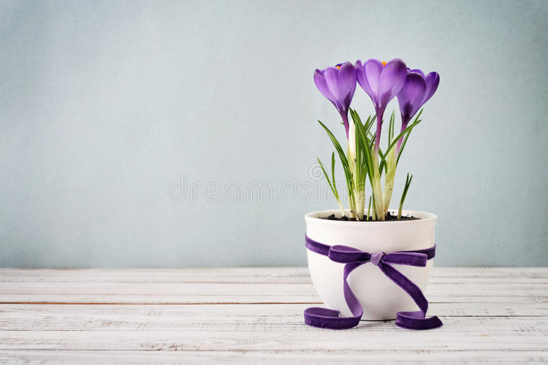 Crocus in vase stock image