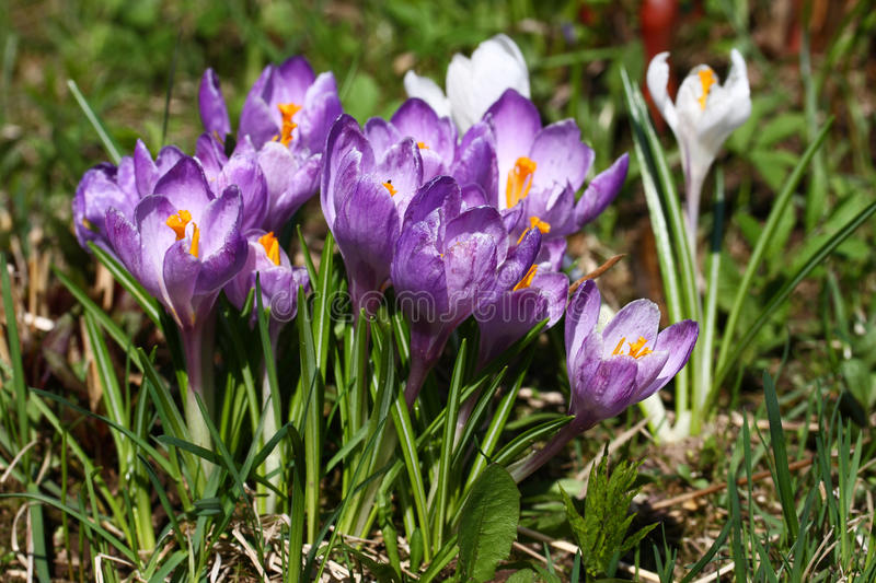 Crocus violet de ressort photos stock