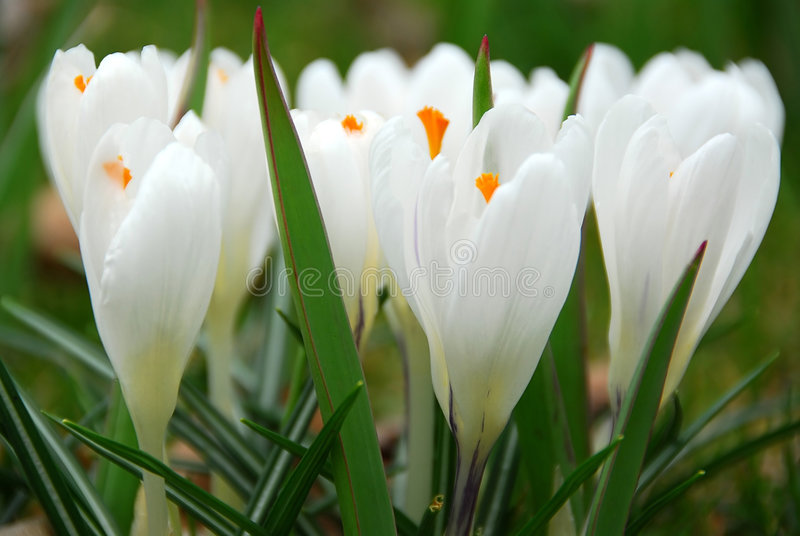 crocus white fotografia royalty free