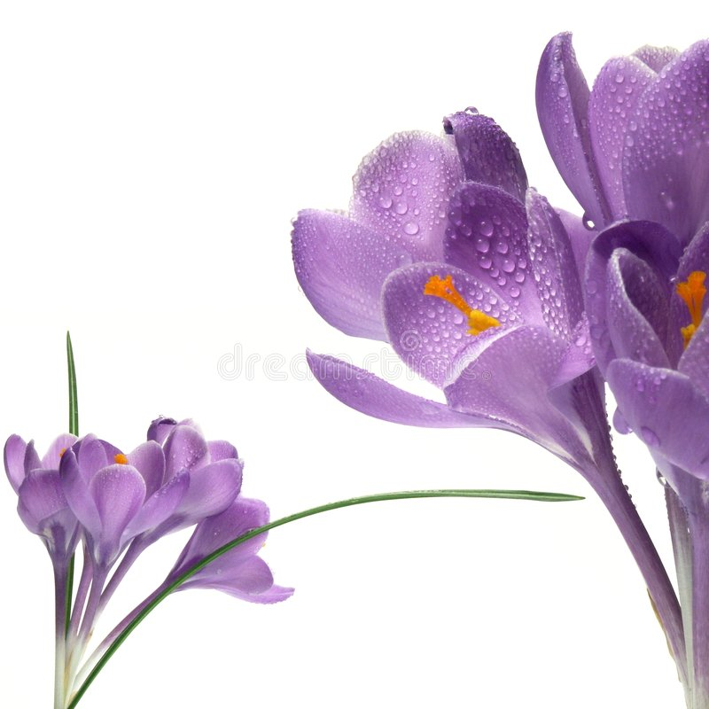 Crocus on white background stock photography