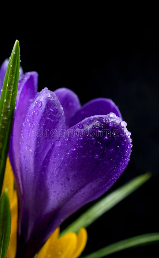 Free Crocuses Stock Images - 30510344