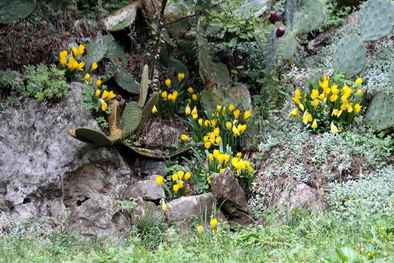 Crocuses or Crocus flowering plants with bright yellow flowers planted between rocks and stones surrounded with cactuses and other. Crocuses or Crocus or Croci stock photos