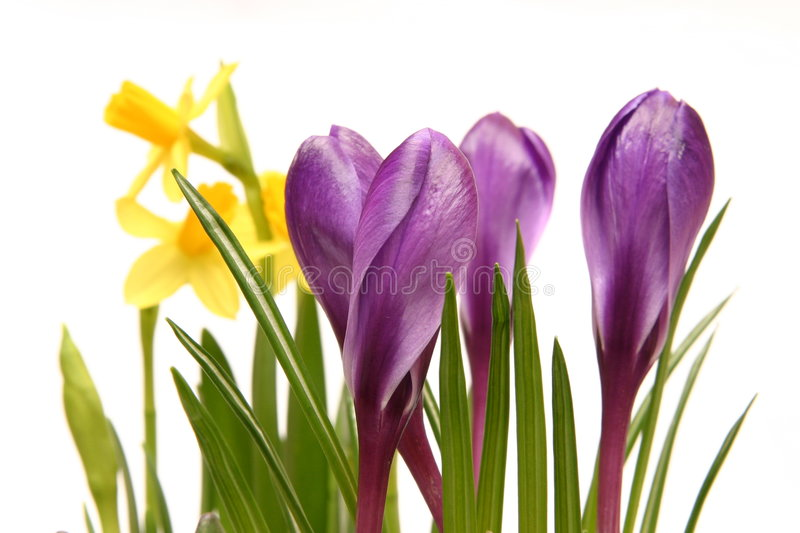 Crocuses and daffodils. Violet crocuses and yellow daffodils isolated on white stock photography