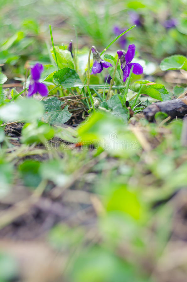 The crocuses family.Spring flowers on ground stock photography