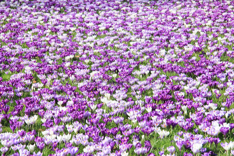 Crocuses on a field. Purple and white crocuses on a field royalty free stock image