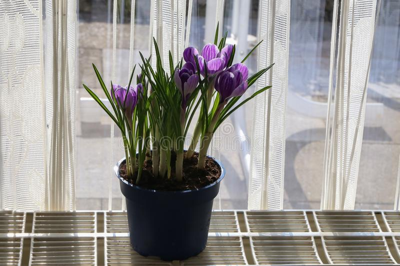 Crocuses in a flowerpot.  royalty free stock images