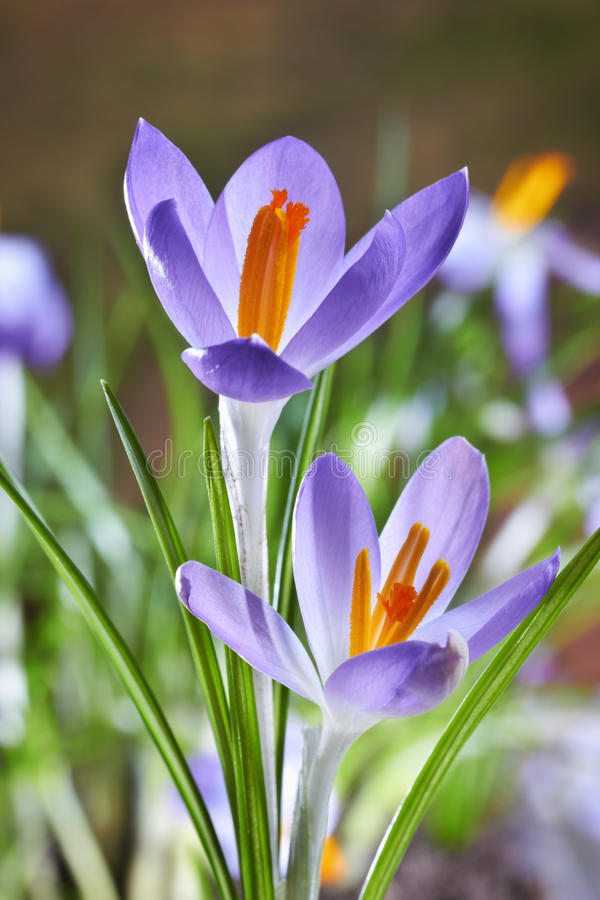 Crocuses in a forest stock photography