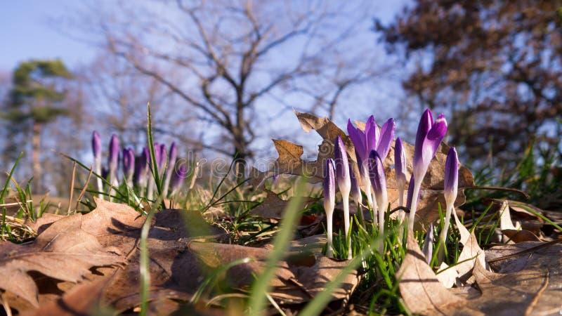 Crocuses in Germany. Crocuses growing in a park in Germany royalty free stock photos