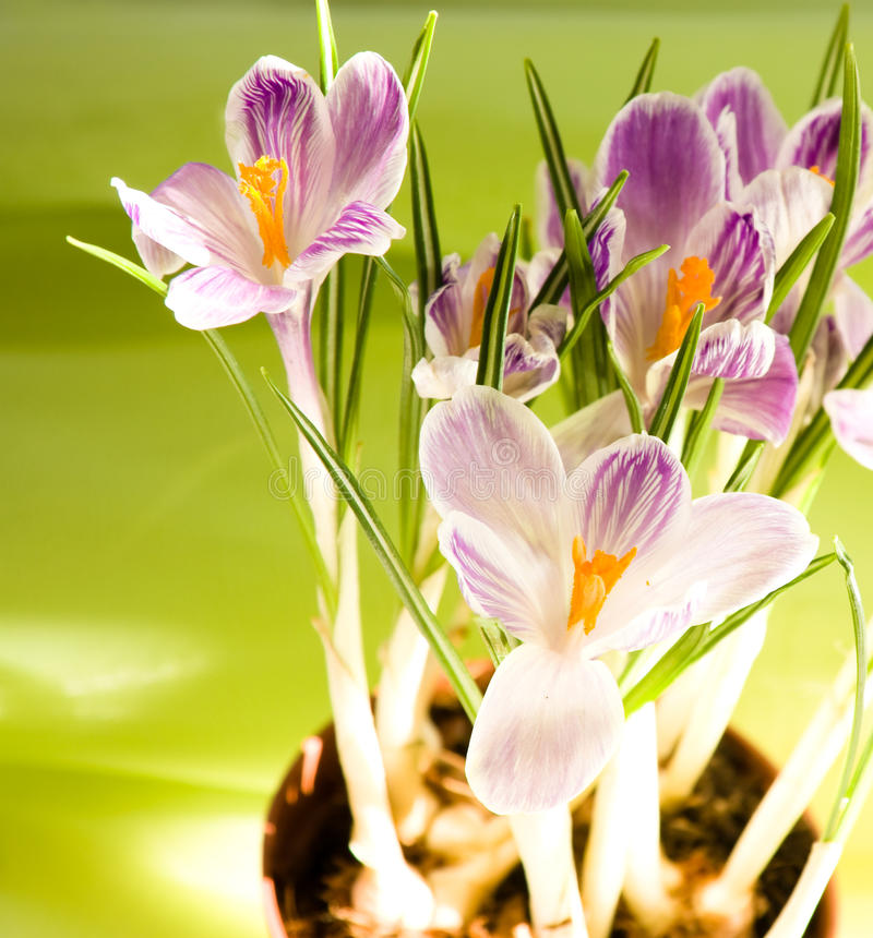 Download Crocuses on the  sun stock photo. Image of floral, color - 13500558