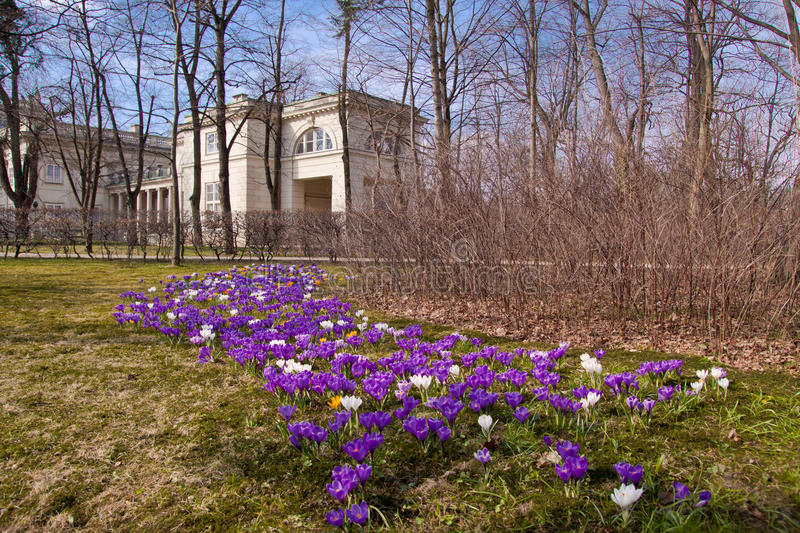 Crocuses in Warsaw park royalty free stock photography