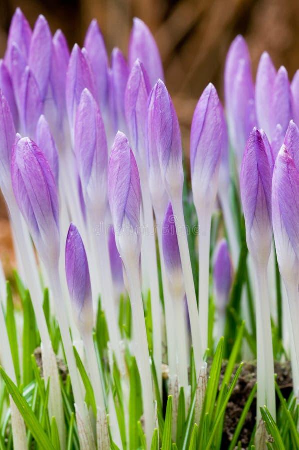 Crocusses dans le printemps photos libres de droits