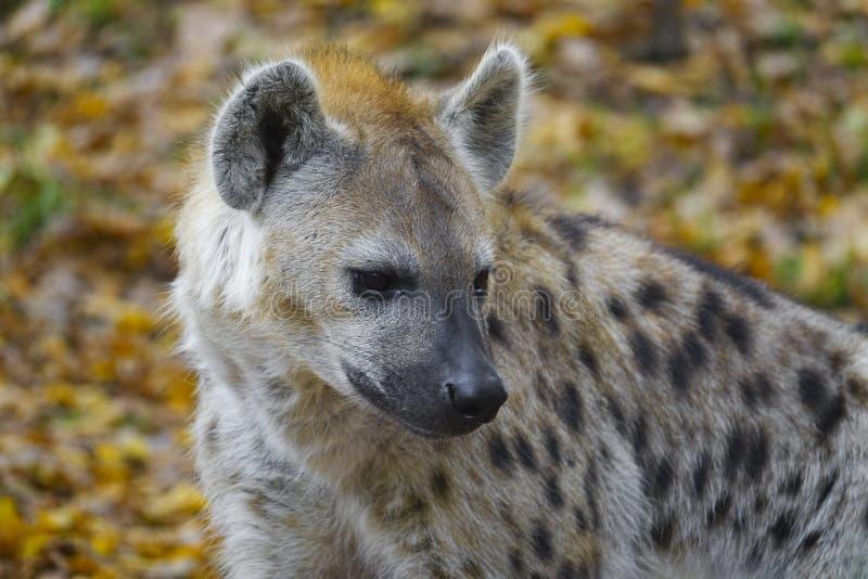 Crocuta Crocuta - beschmutzte Hyäne stockfotos
