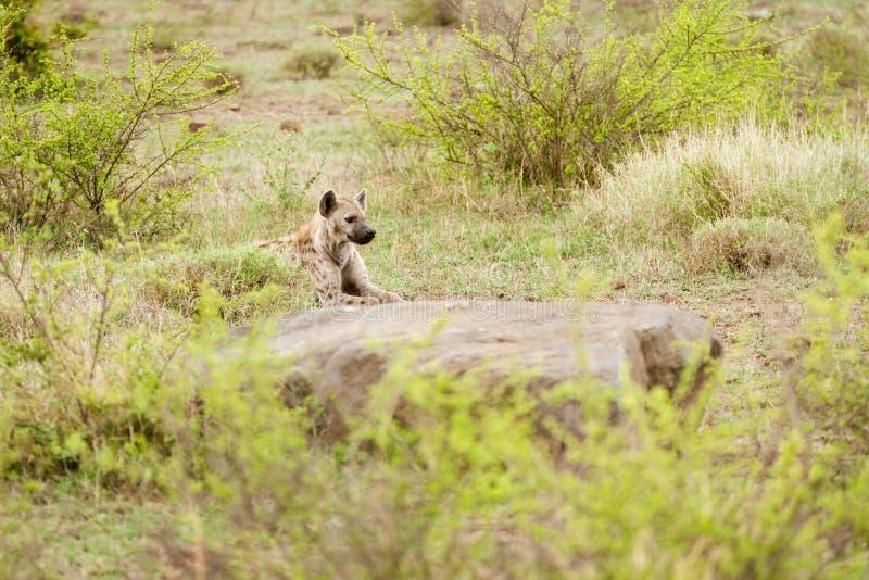 Crocuta repéré de Crocuta d'hyène photographie stock libre de droits