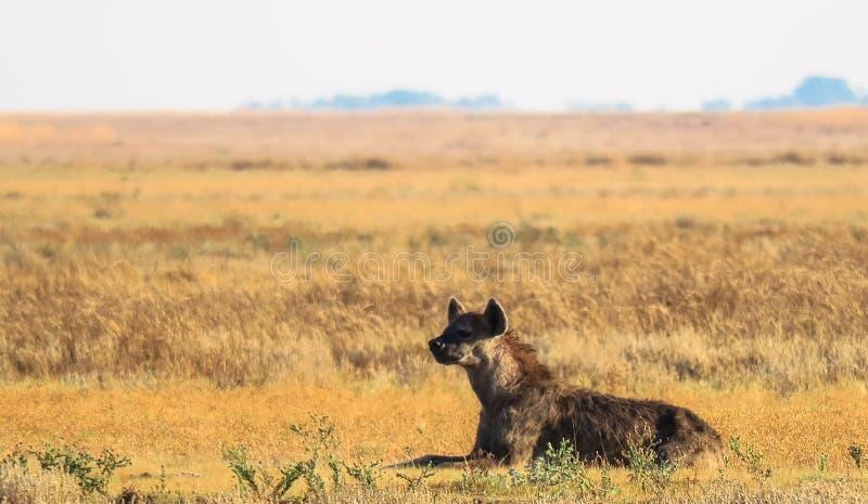 Crocuta repéré de crocuta de hyaena dans la prairie aux plaines de Liuwa, Zambie image stock