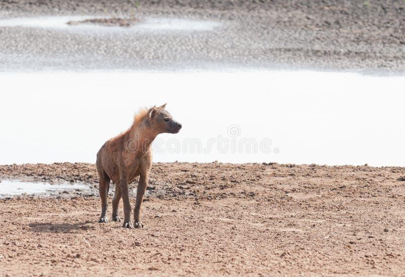 Crocutacrocuta för prickig hyena arkivfoton