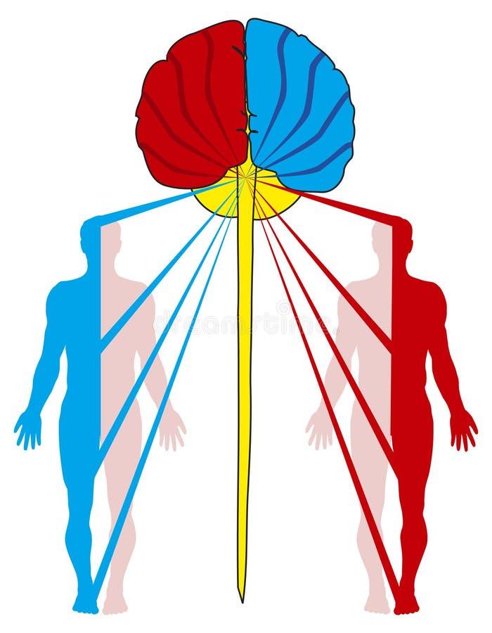 Croisement des fibres nerveuses illustration de vecteur