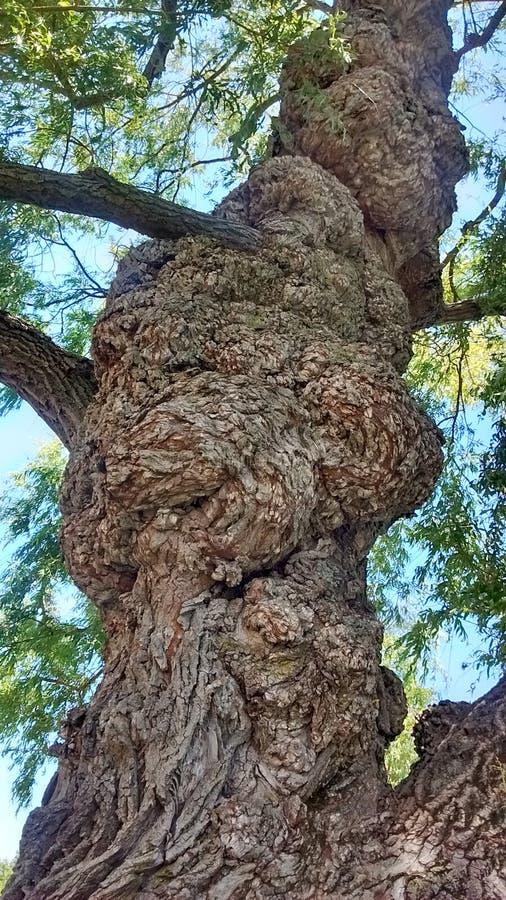 Croissance anormale d'arbre photographie stock