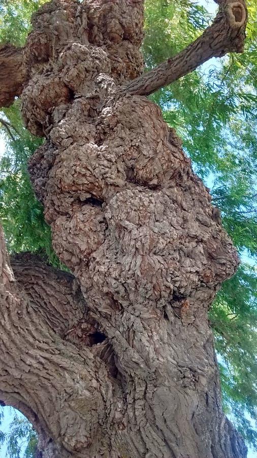 Croissance anormale d'arbre photo libre de droits