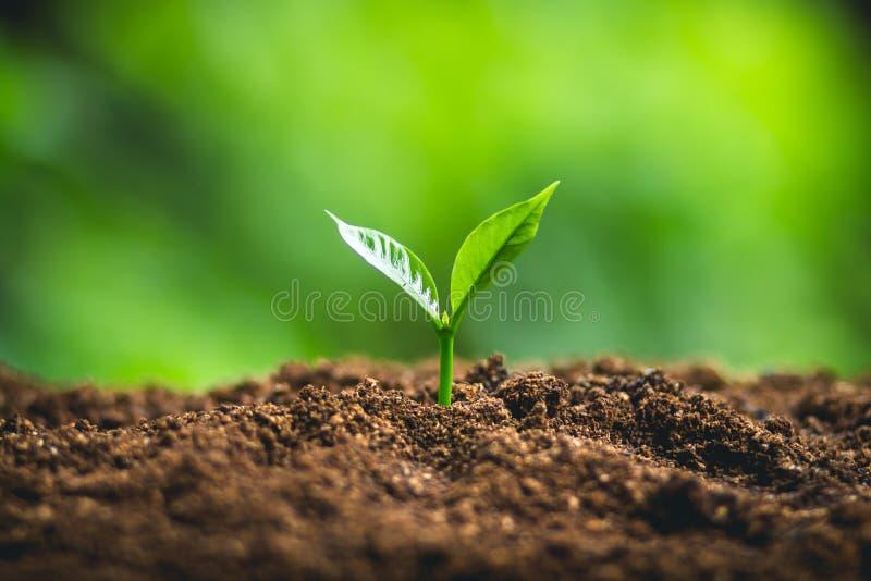 Croissance d'arbre trois étapes dans la nature et le bel éclairage de matin photographie stock libre de droits