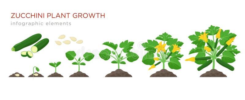 Croissance de plantes de courgette de la plante de graine, de pousse, fleurissante et mûre avec les fruits mûrs Étapes croissante illustration libre de droits