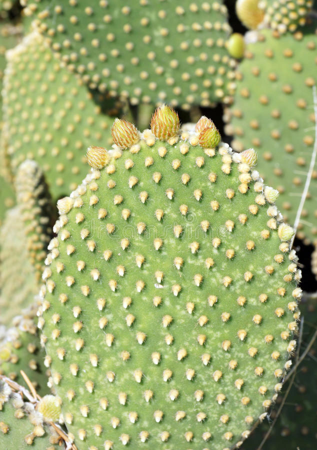 croissance de ressort sur un cactus d 39 oreilles de lapin photo stock image 39039598. Black Bedroom Furniture Sets. Home Design Ideas