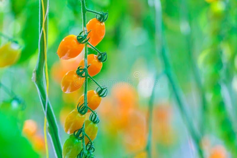 Croissance des tomates-cerises fraîches couvertes de moite photos libres de droits