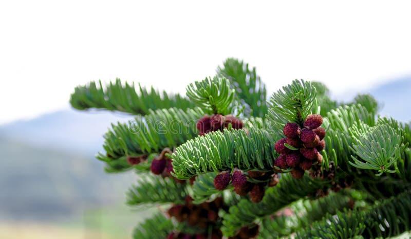 Croissance fraîche de pin bourgeonnant des cônes de pin rouge photo libre de droits