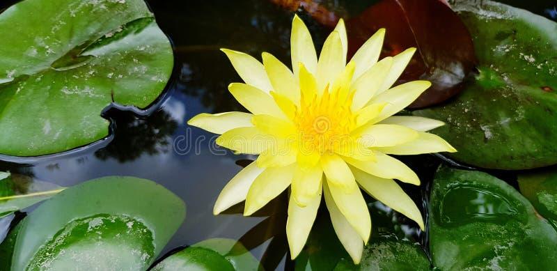 Croissance jaune de lotus sur l'eau avec le fond vert de feuilles photographie stock
