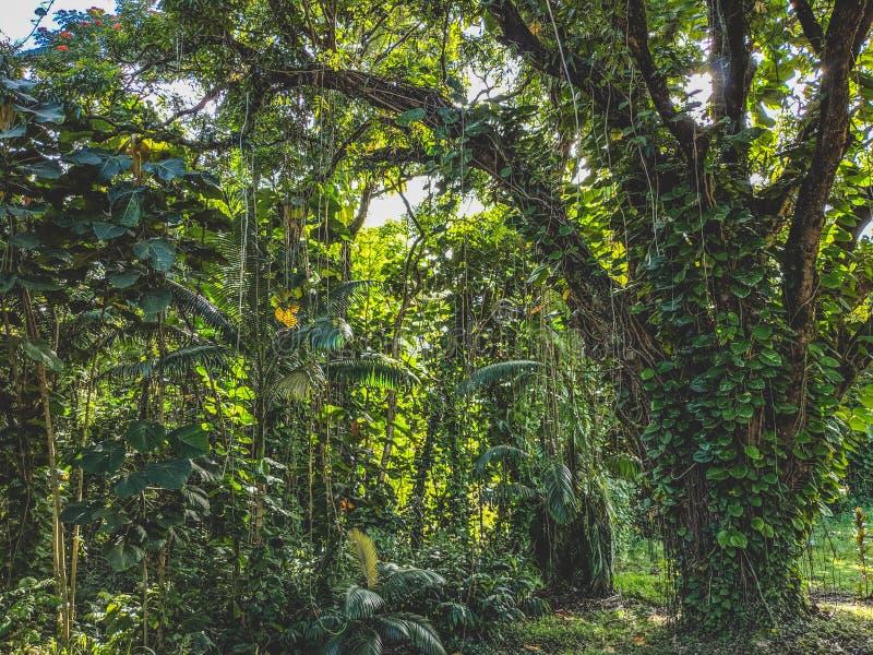 Croissance lourde de jungle de Hilo Hawaï photographie stock libre de droits