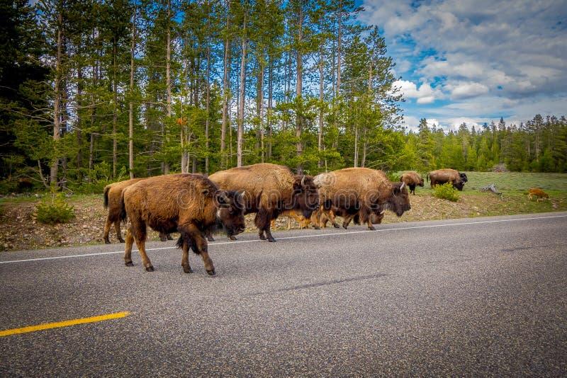 Croix de famille de bison américain une route en parc national grand de Teton, Wyoming photos libres de droits