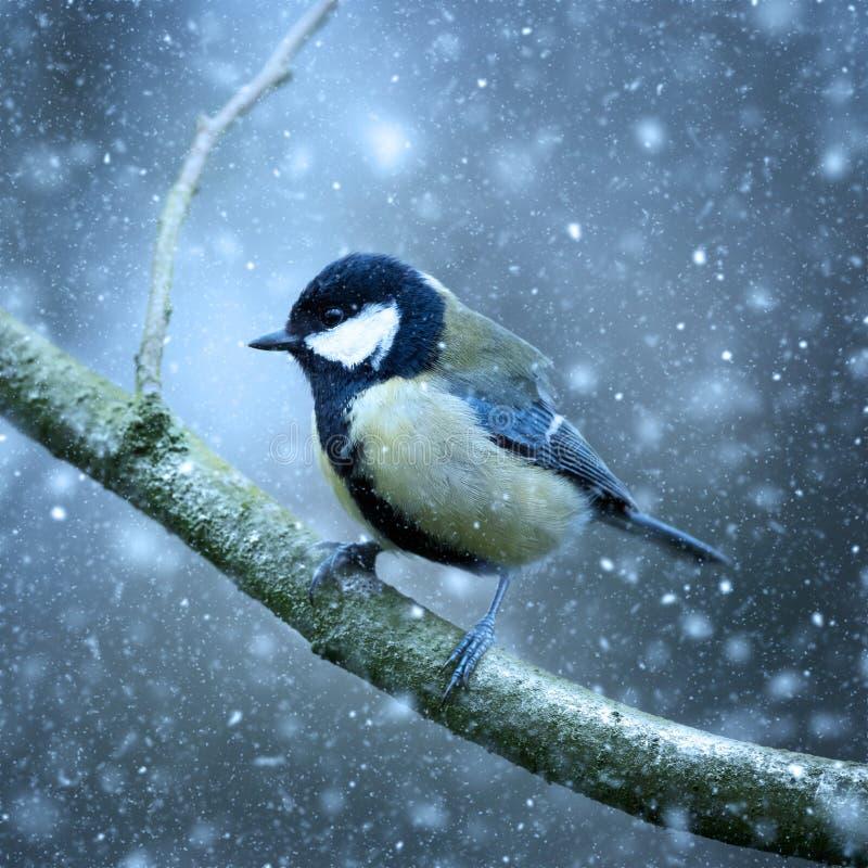 Crollano la neve invernale, Great Tit Parus colori straordinari e fantastici fotografia stock