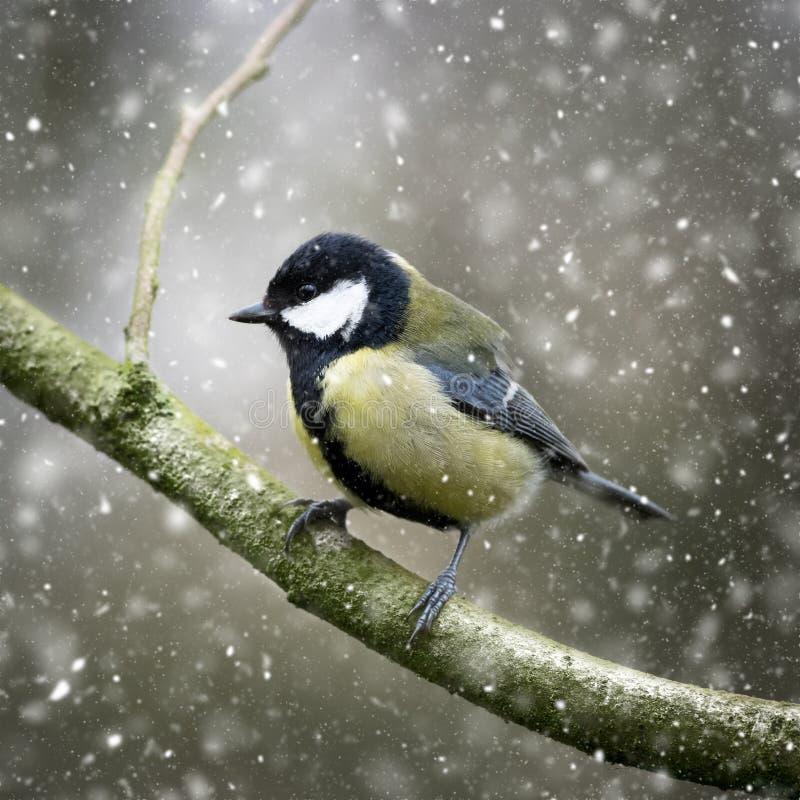 Crollano le nevicate invernali, Grande Parus maggiore immagine stock