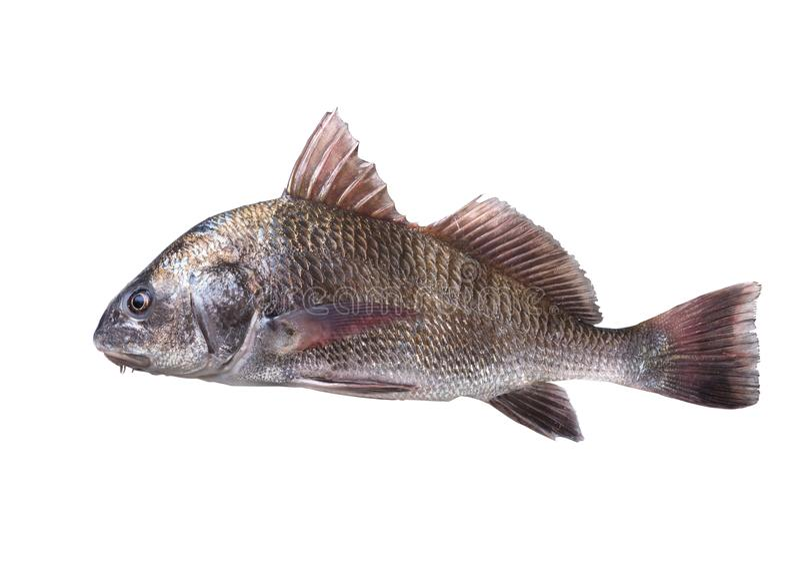 Cromis de Pogonias de tambour noir de poissons fond d'isolement et blanc photos libres de droits