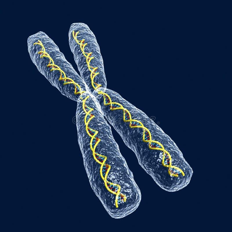 Cromossoma ilustração royalty free
