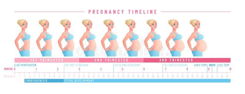 Cronología del embarazo por semanas Ilustración aislada del vector libre illustration