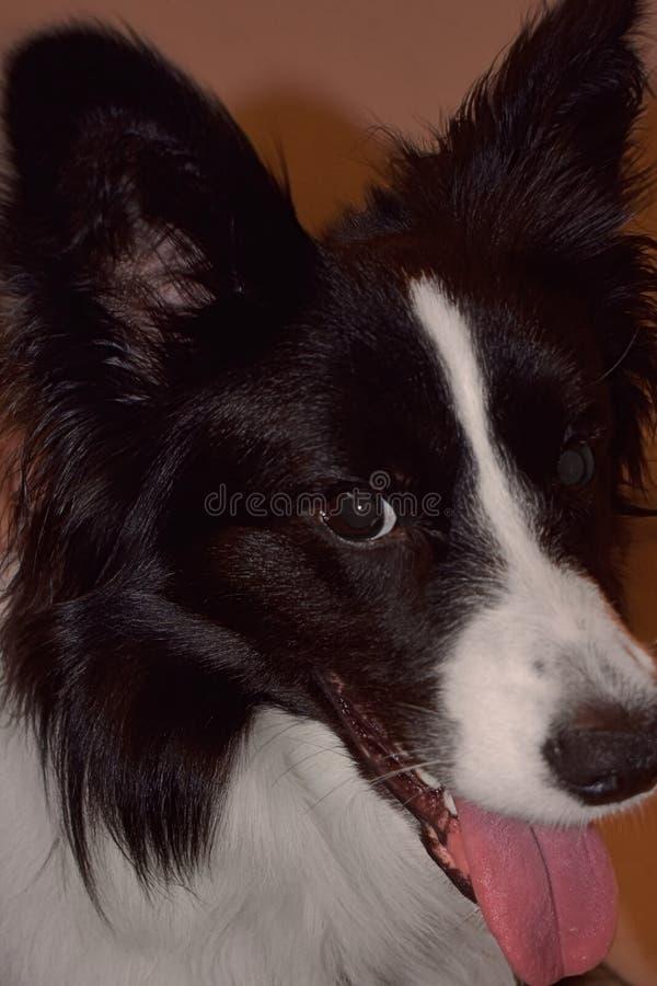 Cronos hund royaltyfri foto