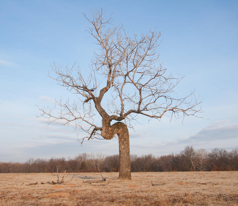 Crooked tree growing in an open field stock photography