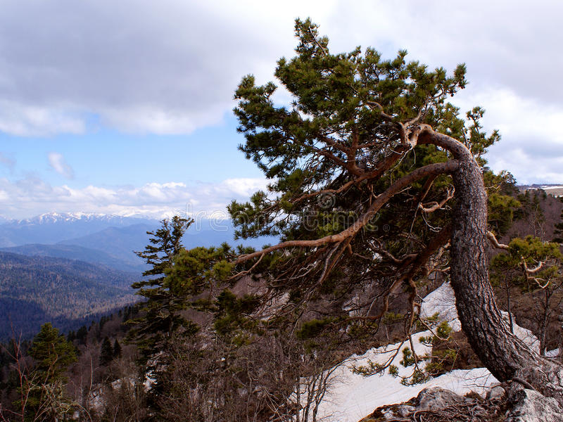 Crooked tree on the hillside. royalty free stock image