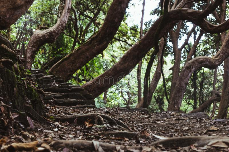 Crooked trees in witch forest. A mystical forest path towards annapurna base camp with crooked trees stock photography