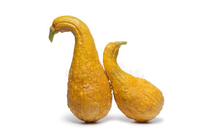 crookneck kabaczków kolor żółty obraz royalty free