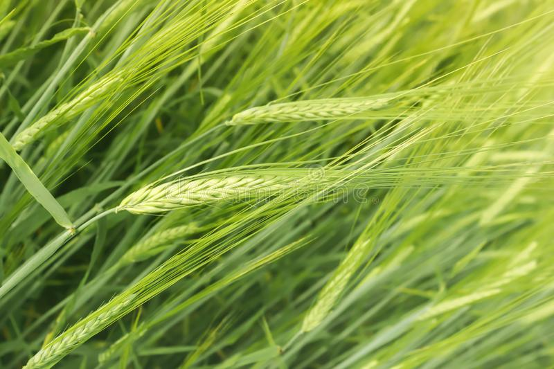 Crop Of Barley In The Field Closeup royalty free stock images